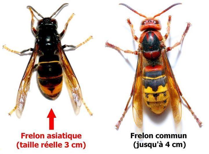 Differences visibles entre le Frelon Asiatique (Vespa Vélutina Nigrithorax) et le Frelon Européen (Vespa Crabro) presents en France . Tous les 2 sont predateurs des abeilles qu'ils chassent pour nourrir leurs larves (les adultes étant végétariens (nectars, fruits) La différence invisible c'est que le frelon Asiatique massacre les colonies d'abeilles auxquelles il s'attaque (c'est un redoutable prédateur-exterminateur bien qu'il soit plus petit) pour mémo (ou info) ce frelon a été introduit…