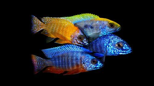8malawicichlids freshwater fish pinterest freshwater for Coolest freshwater fish