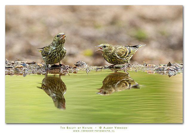 Fotograaf: AldertV  De sijs is geen algemene broedvogel in Nederland. Aantallen kunnen per jaar sterk van elkaar verschillen. Derhalve erg...
