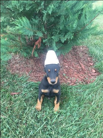Litter of 2 Doberman Pinscher puppies for sale in SPRINGFIELD, MO. ADN-45956 on PuppyFinder.com Gender: Male. Age: 9 Weeks Old
