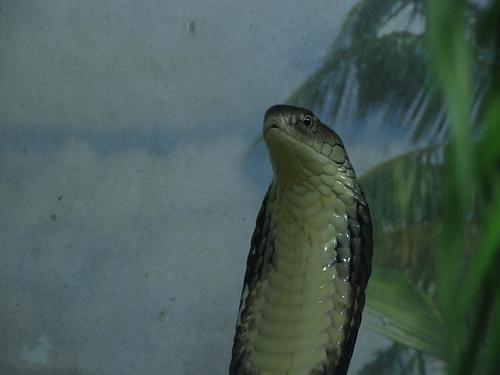 Umbria: Un #cobra reale e gli altri serpenti velenosi e non al rettilario di Perugia: alcuni... (link: http://ift.tt/24iIjKq )