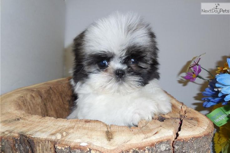 shih tzu for sale chicago 45 best images about chicago hugable puppies on pinterest 1249
