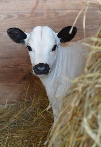 Country calf