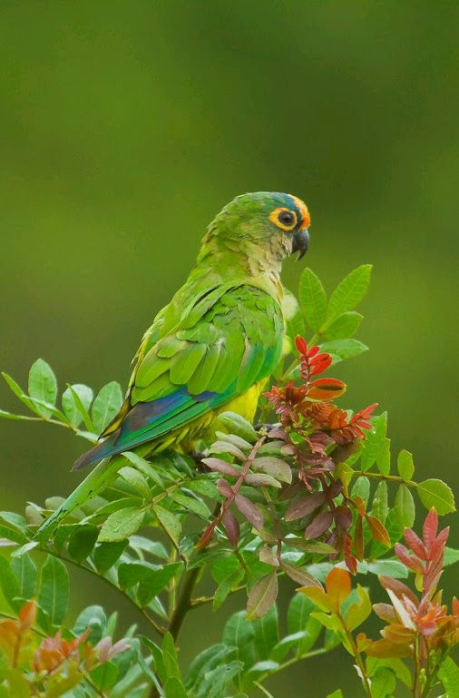 The peach-fronted parakeet (Eupsittula aurea), more commonly known as the…
