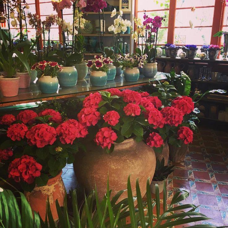 Living with #flowers everyday. Estas espectaculares #hortensias decoran hoy nuestra #floristería en #sitges 💖💖💖 #flowerssitges #sitgesflowershop #decoracion #plantas #plants #instaflower #localflowershop #decor