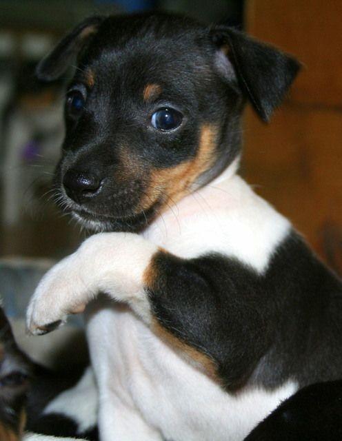 Who me? (Rat terrier puppy)