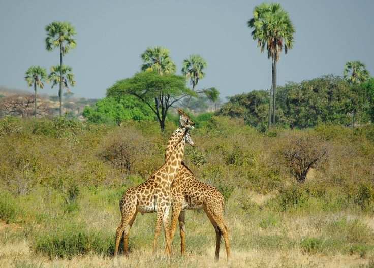 Giraffe fighting, Chobe National Park, Botswana
