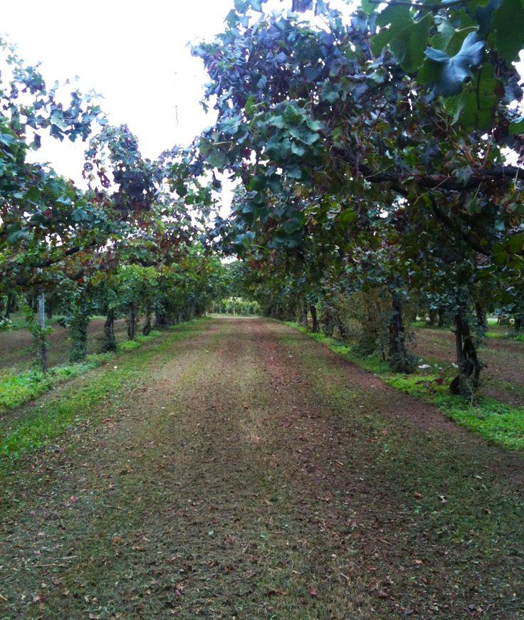 A vineyard after harvest