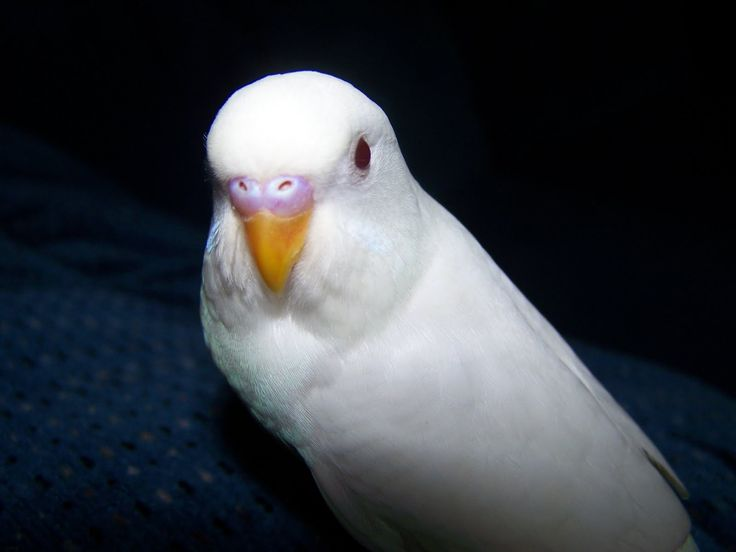 Albino Parakeet | Photo | Animals=Creatures Big and Small ...