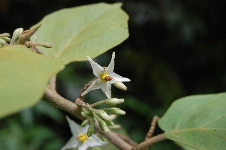 unique flower... white star...
