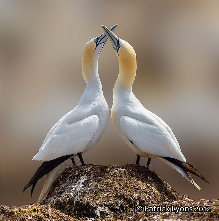 Dance of the Gannets
