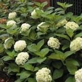 Image result for blushing bride hydrangea