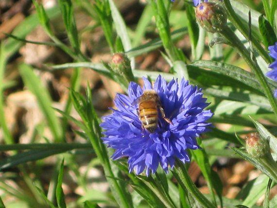 over 30 Seeds Centaurea cyanus bees di HoneyTreeandBehind su Etsy
