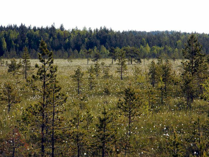 Swamp Heinineva. Lehtimäki, Finland.
