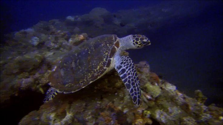 Nurkowanie na Bali – 2016 – Żółw