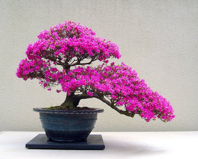 Find This Pin And More On Bonsai Trees