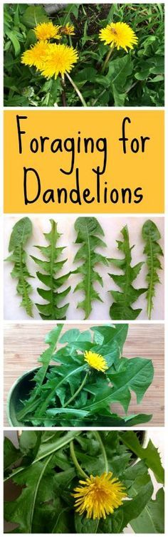 Foraging for Dandelions ~ Tooth of the Lion, dandelions are the perfect growing, foraging, cooking and fermenting plant! http://www.growforagecookferment.com