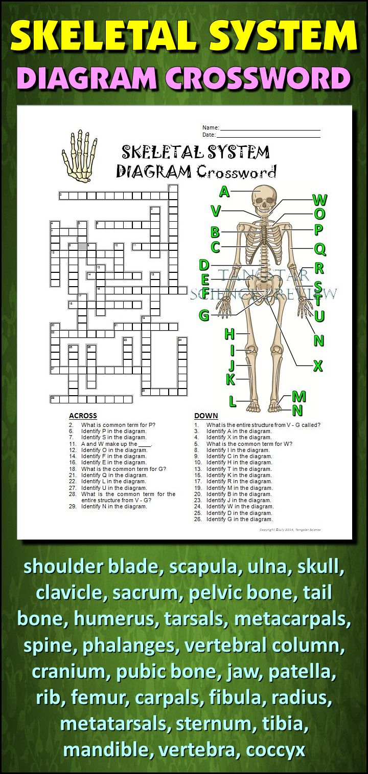 Help students learn and remember the parts of the skeletal system using this diagram crossword.  BONUS ACTIVITY:  When they've completed the crossword, get them to cut out the diagram, glue it on a separate page and label the parts of the diagram.  This activity would work wonderfully within an interactive notebook as well. It can function as an assessment of learning, or it can serve as another reinforcement activity. Afterwards, they have a handy labeled diagram to help them review.