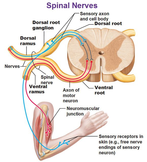 Spinal nerves in detail showing dorsal root ganglion ramus rami ventral root.