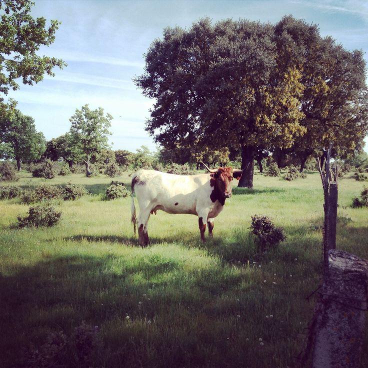 Dehesa de Valdelazarza. Vaca berrenda en colorado  #cabestros #campocharro #salamanca #spain #animals #animales #fauna #flora #toros #campo #horns  #dehesa