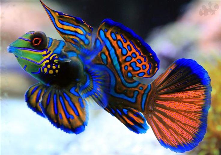Synchiropus splendidus es su nombre científico, pero es mejor conocido por pez mandarín y habita aguas tropicales en todo el Pacífico.