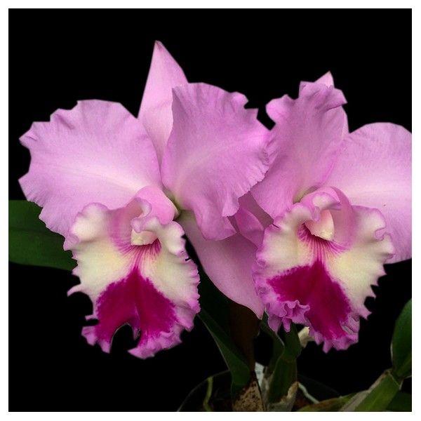Cattleya Blc Chief Pink Diana In 2020 Cattleya Cattleya Orchid Orchids