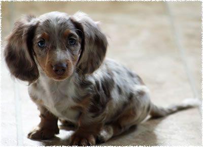 long haired dapple Dachshund puppies