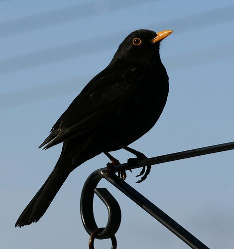 Blackbird. We've had a few pet blackbirds. Tallulabel and Jeffrey were the first.