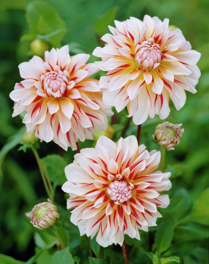 277 best dahlias images on pinterest | exotic flowers, pretty