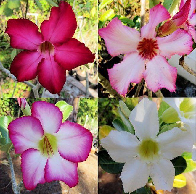 Adenium Obesium Aka Desert Rose Four Pack Mixed Colors Adenium Color Mixing Desert Rose