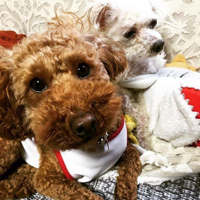 ねーちゃんのお風呂待ち。 . . . #デカプー #フワモコ部 #犬は家族  #犬のいる暮らし #犬と暮らす #トイプードル #トイプードル部 #トイプードルレッド #犬と一緒 #愛犬 #愛犬との暮らし #犬のいる生活  #ペット #多頭飼い #トイプードル多頭飼い #犬バカ部#犬バカ部プードル