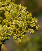 miřík vonný Eryngium campestre   kvete: červenec–srpen výška:30–60(–80) cm  slunné stráně a pastviny, okraje cest, náspy komunikací, většinou na vápenci  patří k stepním běžcům, semena jsou rozšiřována větrem, ve Středozemí roste máčka fialová (Eryngium amethystinum L.)