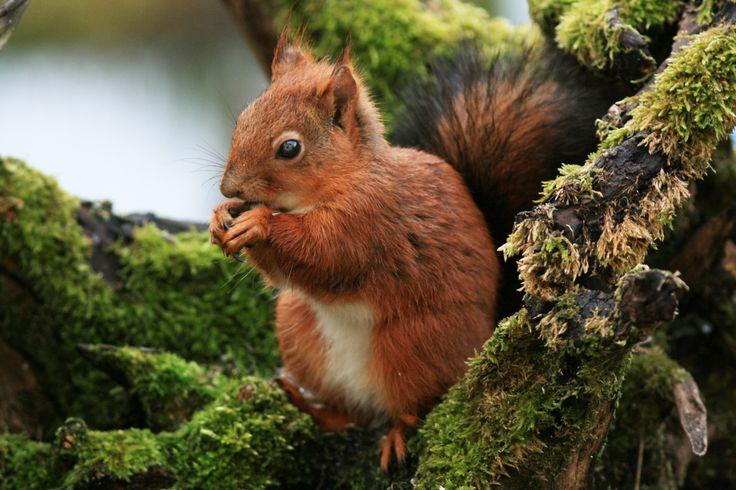 L'écureuil dans les parcs et jardins : 20 animaux à observer dans leur état naturel en France - Linternaute
