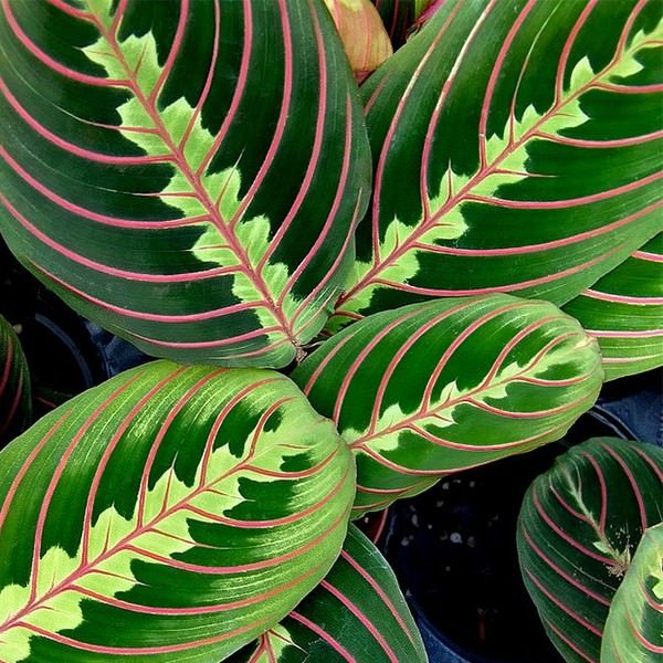 25 best ideas about tropical house plants on pinterest for Prayer palm plant