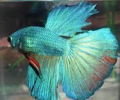 Resultado de imagem para giant betta fish for sale