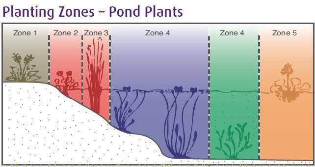 How To Grow Pond Plants