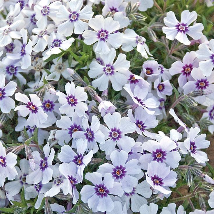 145 best Phlox images on Pinterest | Plants, Backyard ...