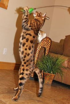 some of the exotic cats for sale at select exotics