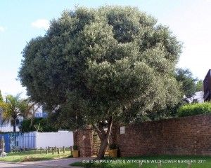 Olea europaea subsp. africana, grown a a pavement tree in Lonehill.