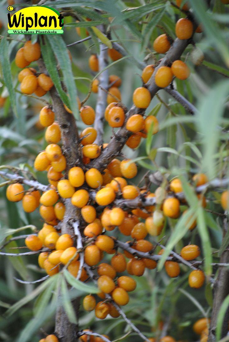 Hippophae rhamnoides 'Terhi', honplanta. FinE-sort. Finsk korsning. Honbuske som är frisk. Royaltybelagd. Mycket C-vitamin (185-250 mg/100 g). Rekommenderad skördemetod: klipp av varannan kvist och frys. Höjd: 1,5-2 m. Zon V.