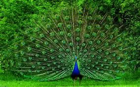 Did you know that peacocks are sacred in India? How do you call a group of peacocks? Can peacocks fly? Learn facts about peacocks in an easy way here http://easyscienceforkids.com/all-about-peacocks/