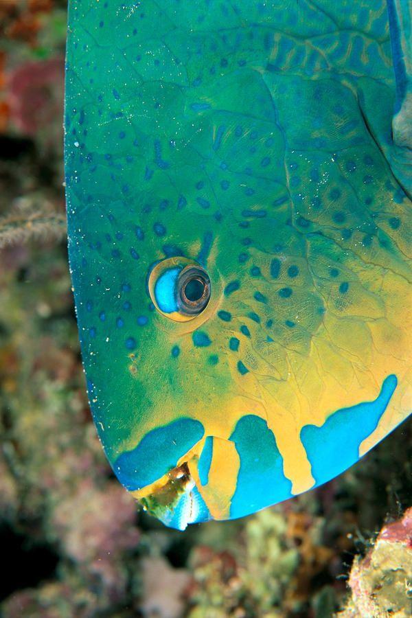 Parrotfish - aka Uhu in Hawaii