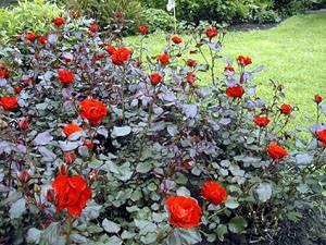 Amsterdam / Havam Bukettros 50-90 cm, 3 st/meter kontinuerligt blommande Zon 4 mörkröda blad och orangeröda blommor