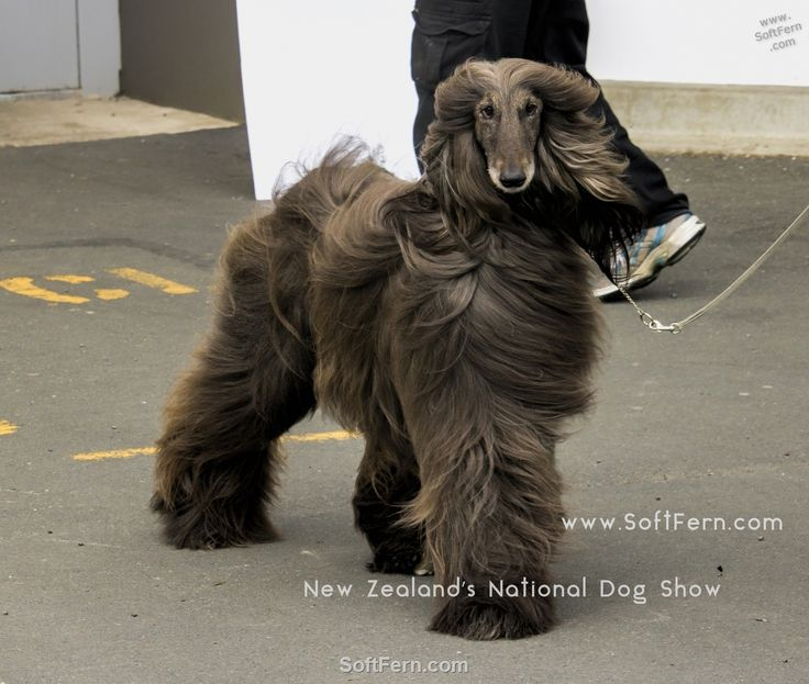 The Afghan Hound is a hound that is distinguished by its thick, fine, silky coat and its tail with a ring curl at the end. The breed was selectively bred for its unique features in the cold mountains of Afghanistan.        Blackhawk Dogs New Zealand's National Dog Show. ... 20  PHOTOS        ... Over 1500 of New Zealand's top dogs came from all parts of the country to compete during three days for the ultimate prize of Best In Show.        Read original article…