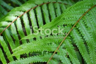 Fern Background Royalty Free Stock Photo