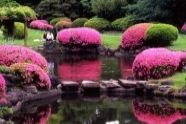 Japonské azalky - Szkółka krzewów ozdobnych, ogrody japońskie, bonsai, azalie, ogrody do zwiedzania - Antoni Pudełko