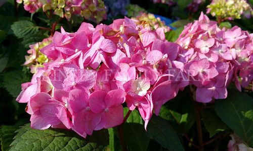 BloomStruck Hydrangea Endless Summer collection plant with blue or pink blooms depending upon soil pH