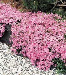 Les 25 meilleures id es de la cat gorie vivaces couvre sol - Phlox vivace couvre sol ...