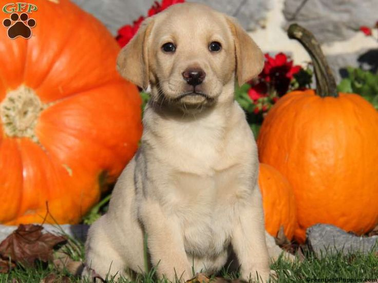 Gracie, Yellow Lab puppy for sale from Leola, PA