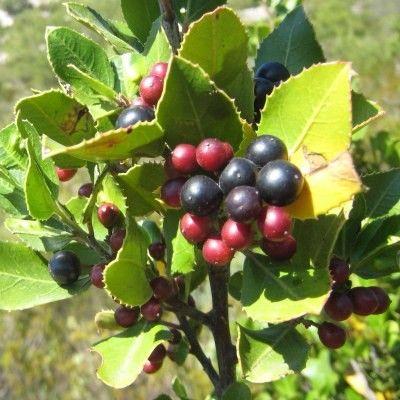 LA plante méditerranéenne ! Le Rhamnus alaternus est une des plantes incontournables du bassin méditerranéen, on le retrouve surtout dans les friches, haies et garrigues. C'est un arbuste que l'on confonds souvent avec le Phillyrea car ils sont tous les deux omniprésents dans les paysages du sud-est. LeRhamnus alaternus est un arbuste pouvant atteindre 5m de hauteur et vivre jusqu'à 100ans ! Très tolérant à la sécheresse, ainsi qu'aux embruns.